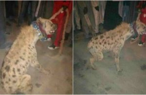 Hyena arrested in Kano, detained at Police Station lailasnews 3