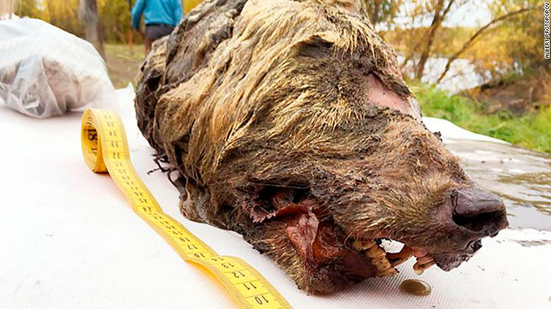 Wolf's head cut off 40,000 years ago found in Siberia, preserved (Photos)